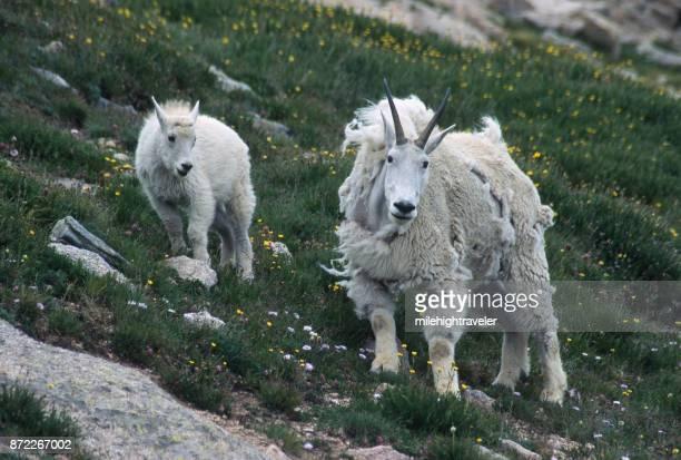 Shedding mountain goat pair kid Mount Evans wildflowers Rocky Mountain Front Range Colorado