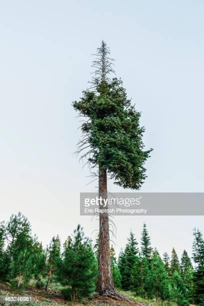 Shedding tree in rural landscape