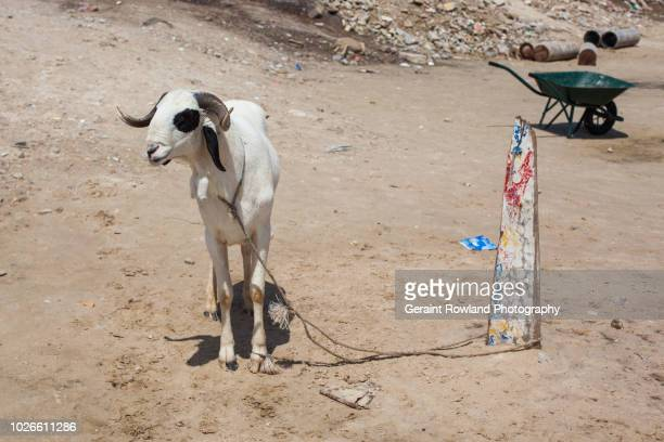 sheep 7 senegal & islam - eid al adha stock pictures, royalty-free photos & images