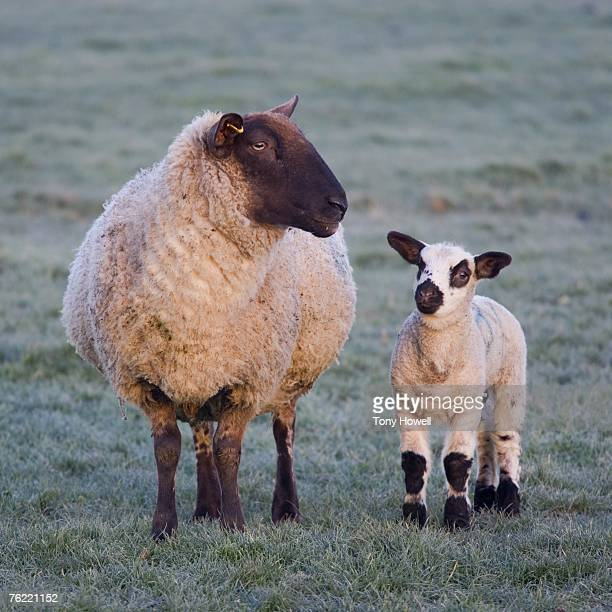 Sheep (Ovis aries), adult and lamb, Somerset, England