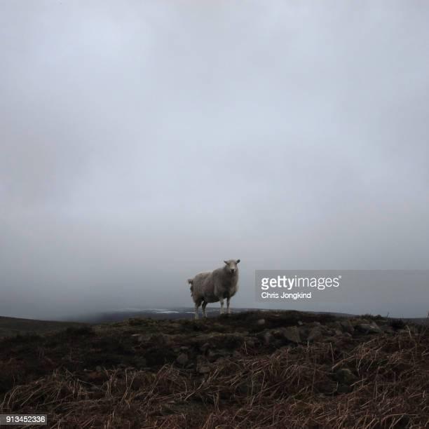 sheep alone on hill - um animal - fotografias e filmes do acervo