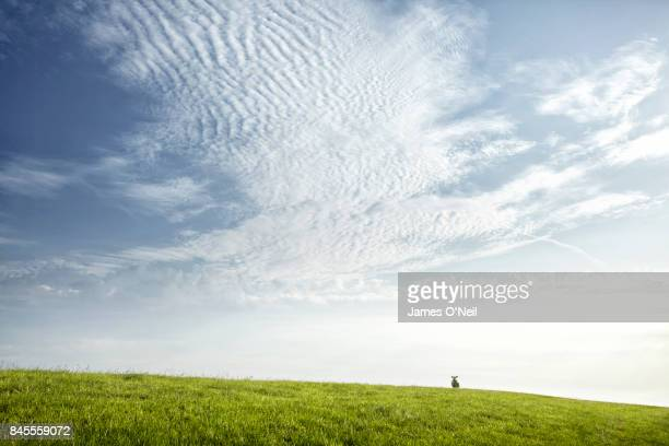 sheep alone horizon green pasture netherlands