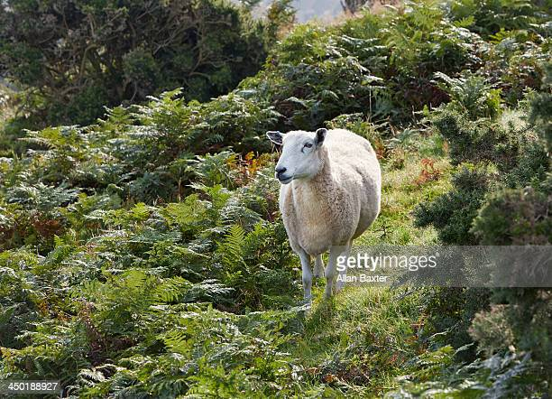 sheep amongst ferns - exmoor national park stock pictures, royalty-free photos & images