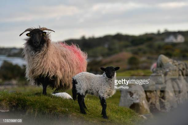 Sheep and a young lamb seen in a field on Inishnee island, during the COVID-19 lockdown. On Tuesday, 27 April 2021, in Roundstone, Connemara, Co....
