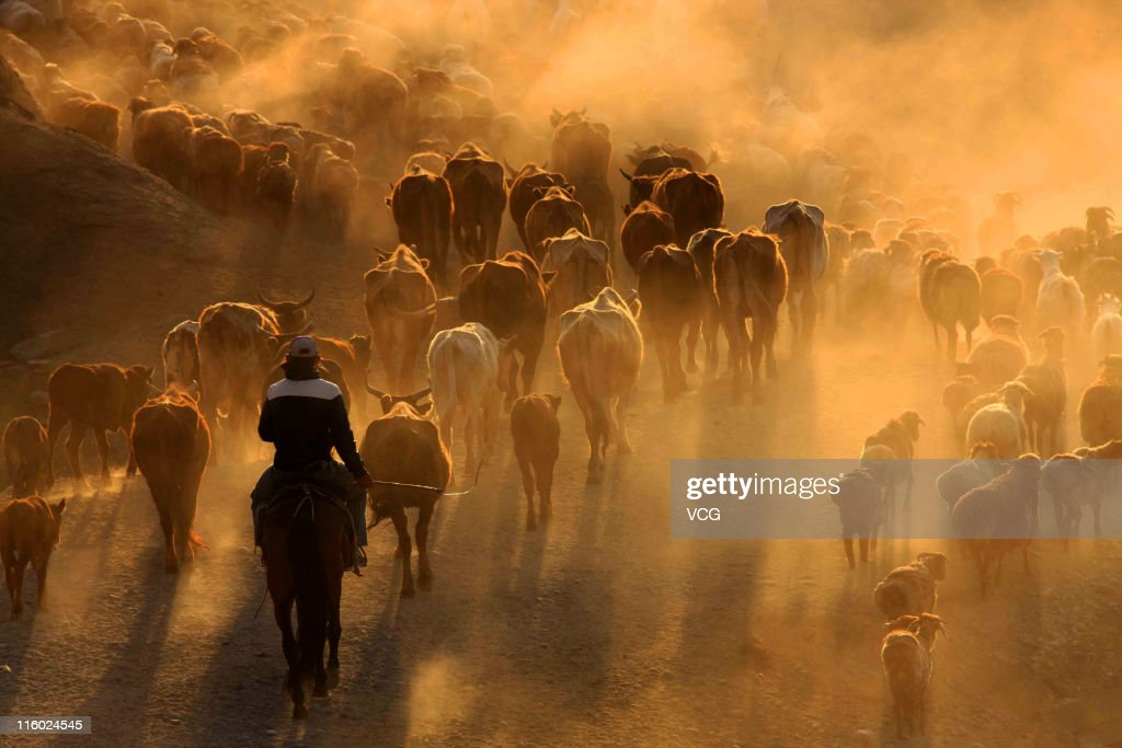 Sheep and cattle are shepherded at Altay grassland during the seasonal livestock migration on June 14, 2011 in Altay, Xinjiang Uygur Autonomous Region of China. Many herders follow a traditional transhumant way of life, moving their livestock to the cooler highland areas in the spring and summer seasons and then towards the warmer lowlands in the winter.