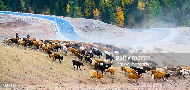 Sheep and cattle shepherded at Altay grassland