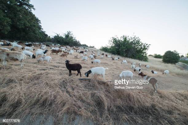 Sheep and Goats Eating Grass on a Mountain Hill During Sunset in Agoura Hills, California
