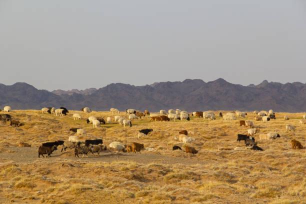 Sheep and goats freely grazes in Gobi desert of Mongolia