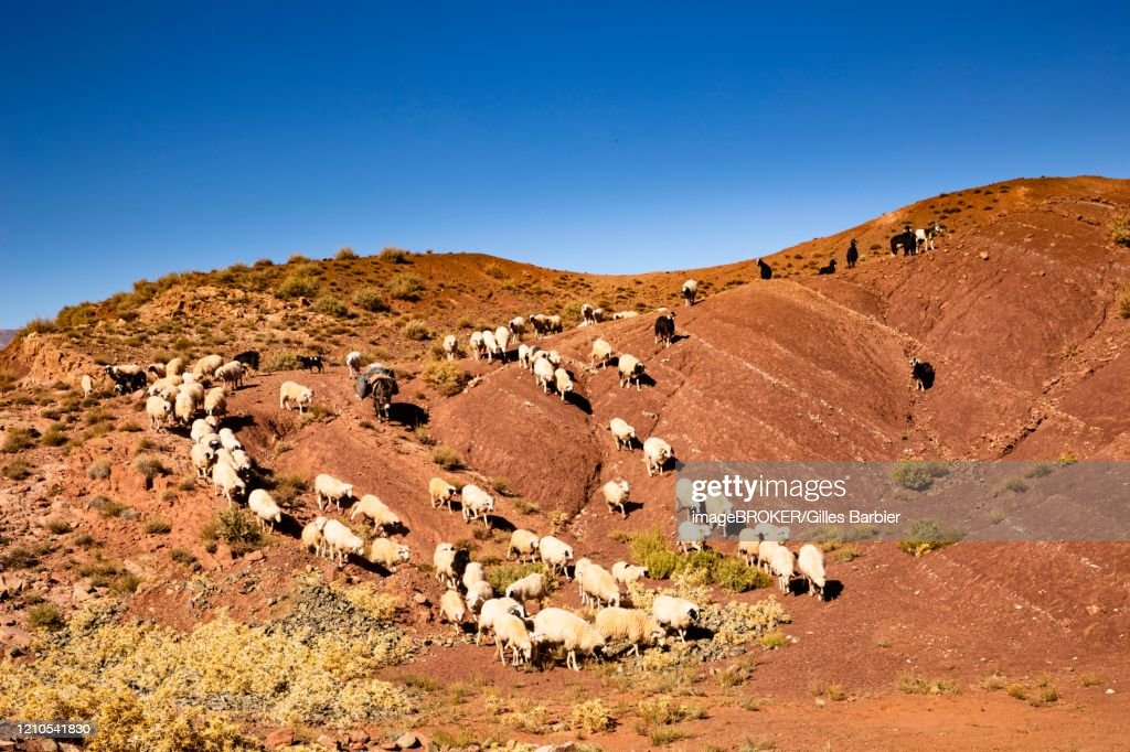 Sheep and goats going down the colored mountains on the road from Ait Ben Haddou to Telouet, Morocco : Stock Photo