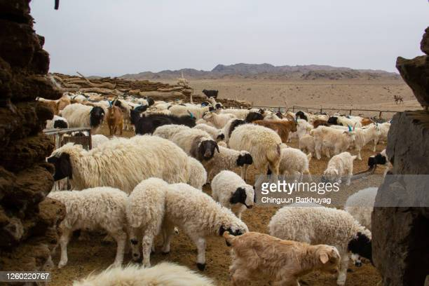 sheep and goats in gobi desert - cashmere stock pictures, royalty-free photos & images