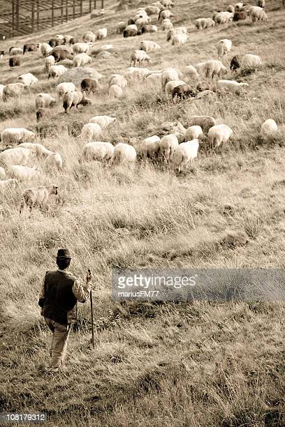 sheep and herder in field - flock of sheep stock photos and pictures