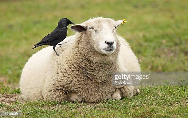 Sheep and  Jackdaw