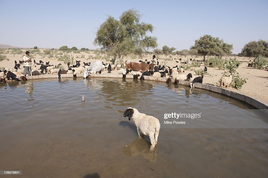 Sheep Drinking Rajasthan India Stock Photo - Getty Images