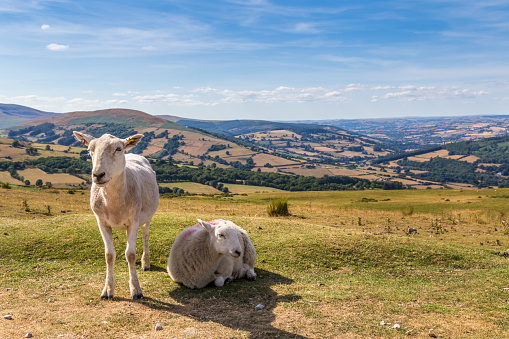 Sheep and lamb in Brecon Beacons National Park in Wales, UK 1021012594