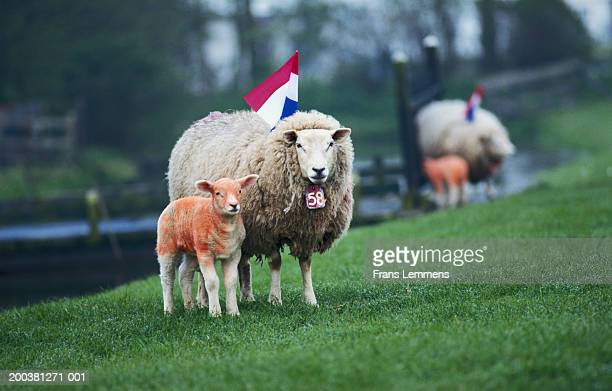 sheep and lamb painted in dutch national colors for queen's day - king's day netherlands stock photos and pictures