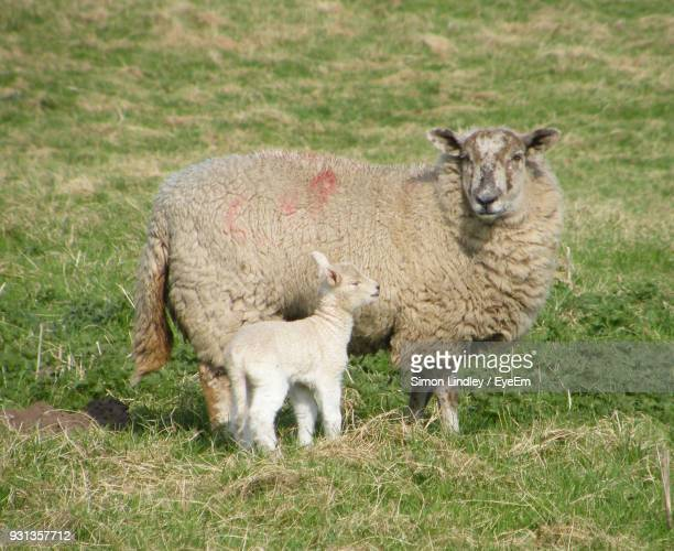 Sheep And Lamb Standing On Grassy Field