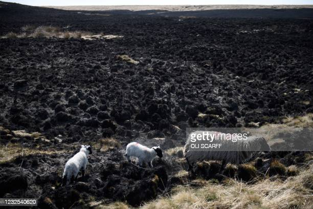 Sheep and lambs graze on moorland adjacent to the aftermath of an extensive wildfire on Marsden Moor, near Huddersfield in northern England on April...