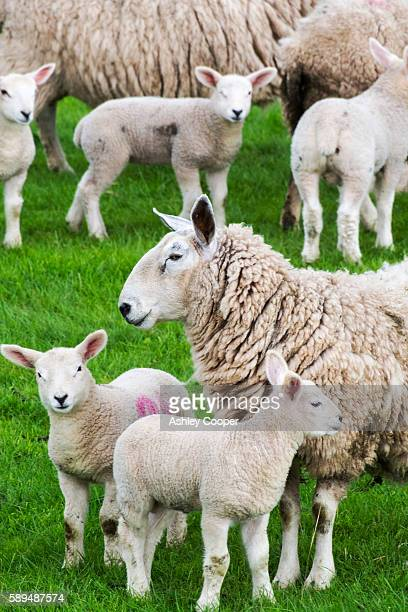 sheep and lambs in a field in kirkoswold, eden valley, cumbria, uk. - ashley lamb photos et images de collection