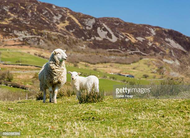Sheep and lambs in fields and meadows of Welsh hill farm with mountains in the distance
