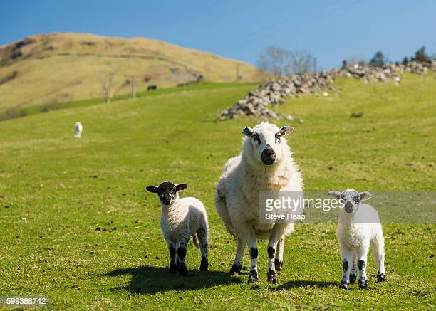 sheep and lambs in fields and meadows of welsh hill farm with mountains in the distance - ウェールズ文化 ストックフォトと画像