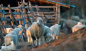 http://www.istockphoto.com/photo/sheep-and-lambs-in-springtime-gm813872294-131653505