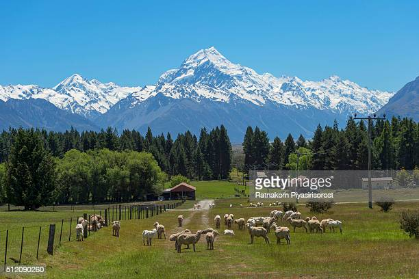 Sheep and mt. Cook, Newzealand