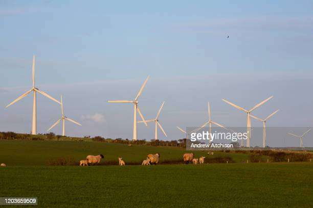 Sheep and young lambs grazing in front of wind turbines on Llyn Alaw Wind Farm in full electricity production during the tail end of Storm Dennis on...