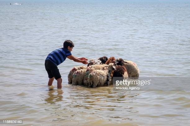 Sheep are being washed by their owner Ramazan Salvan and his children in Lake Van Turkey on July 31 2019