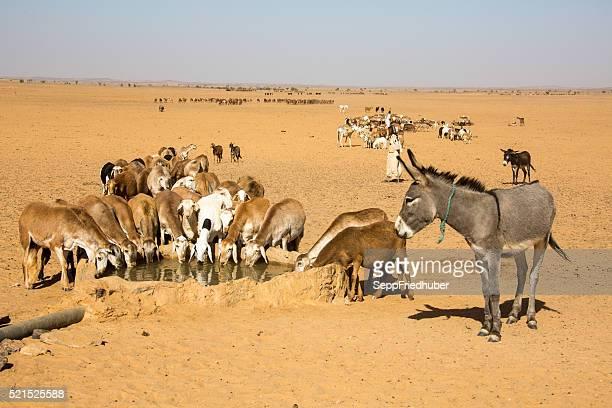 Ganado ovino es beber agua en el orificio de Sudán
