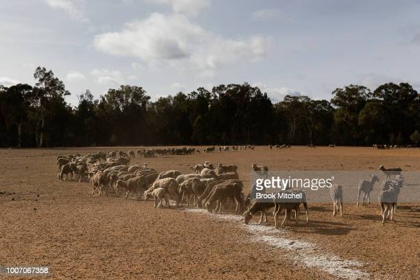 Sheep are fed on a mixture of Cotton Seed and expired baby food on the the Jerry family farm 'Marlborough' 40 km outside Coonabarabran The New South...