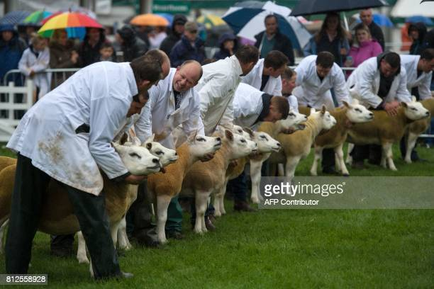 Sheep are judged in a show ring on the first day of the Great Yorkshire Show near Harrogate in northern England on July 11 2017 The agricultural show...