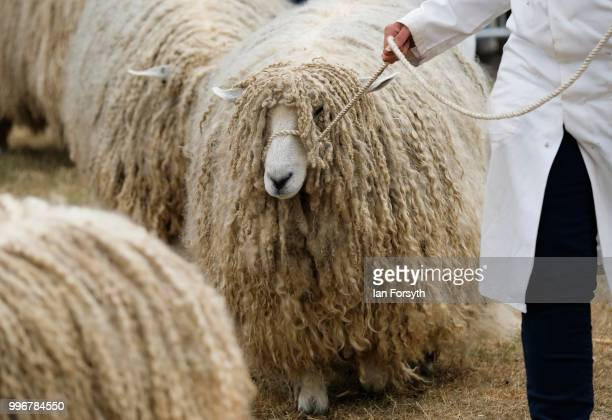 Sheep are led around the judging ring during a heat at the 160th Great Yorkshire Show on July 10 2018 in Harrogate England First held in 1838 the...