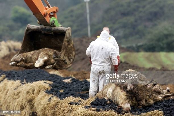 Sheep are loaded by a digger in their final indignity of death 18 March 2001, as 'foot and mouth' funeral pyres are built to extinguish the disease...