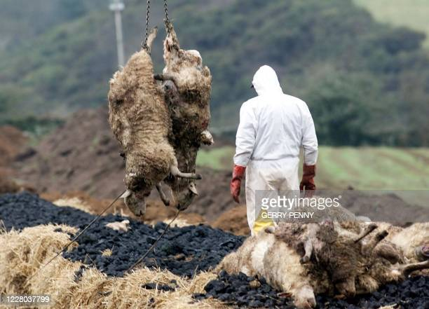 Sheep are loaded by a Ministry of food official in their final indignity of death 18 March 2001, as 'foot and mouth' funeral pyres are built to...