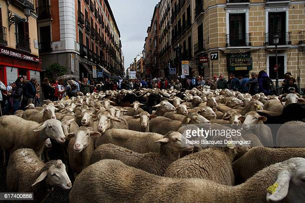 Sheep are mustered along the streets of Madrid city center during the annual livestock migration festival on October 23 2016 in Madrid Spain The...