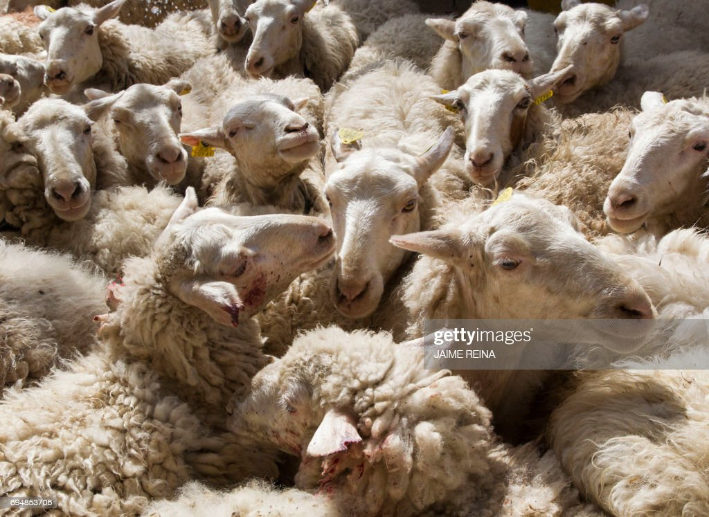 Sheep are penned up at a farm in the Tramontana mountain range village of Escorca on Mallorca Island on June 11, 2017 before being shorn. The annual event sees regional farmers gather their flocks of sheep, who have roamed free throught the year, for a communal shearing that attracts proffessional shearers from all over the globe. /