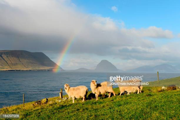 Sheep are pictured at the Kirkjubour village on the Streymoy Island as a rainbow appears between the Hestur and the Koltur islands on October 16...