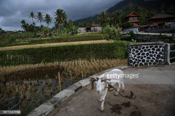 Sheep are prepared for bathing at his farms at Mekar Jaya village in Garut West Java Indonesia on Friday August 3 2018