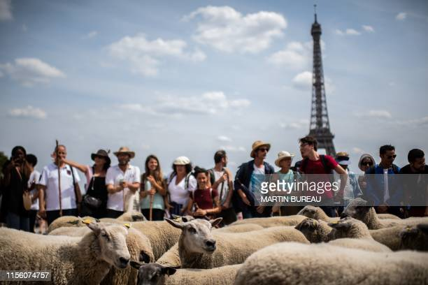 Sheep are seen during an urban transhumance in Paris on July 17 2019 The shepherds of SeineSaintDenis and their herd begin on July 6 2019 eleven days...