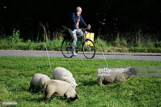 Sheep are seen eating gras near the border of The Hague in Leidschendam, The Netherlands on 19 September 2015. Farmers are encouraged by local...