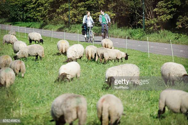 Sheep are seen eating gras near the border of The Hague in Leidschendam The Netherlands on 19 September 2015 Farmers are encouraged by local...
