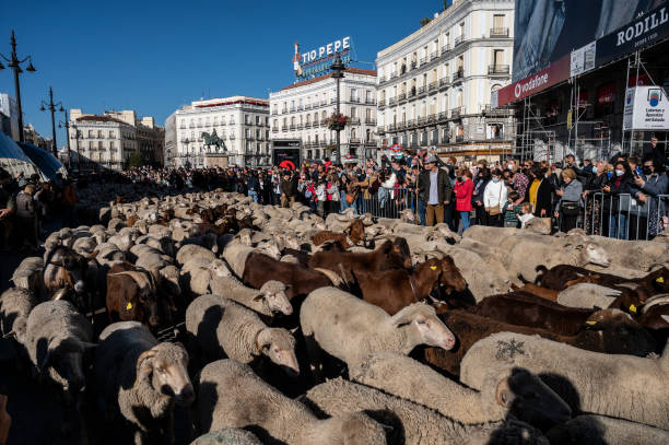 ESP: Countless Sheep In Downtown Madrid For Annual Transhumance Festival