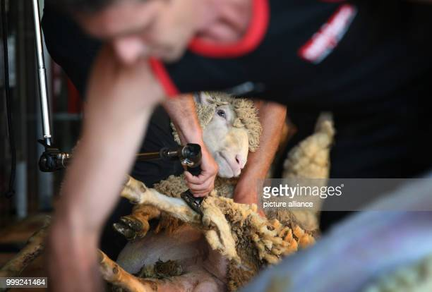 Sheep are sheared during the German Sheep Shearing Championships 2017 in Salem, Germany, 20 August 2017. Around 100 participants took place in the...