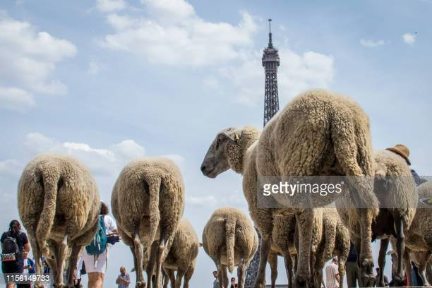 Sheep arrive at the parvis des droits de l'homme square at the Torcadero facing the eiffel tower during an urban transhumance in Paris on July 17...