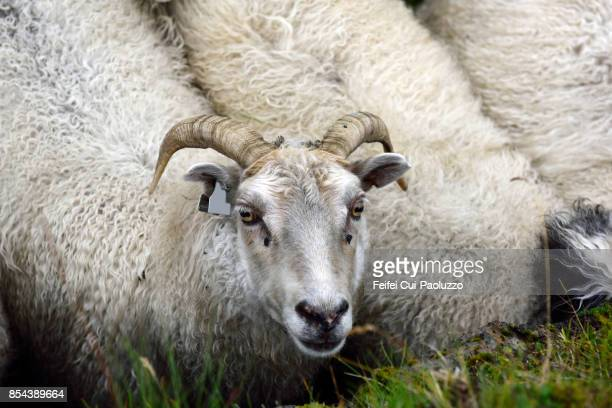 sheep at alftaver, south coast iceland - icelandic sheep stock photos and pictures