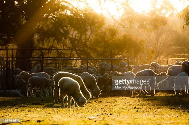 Sheep at farm in Canberra, Australia