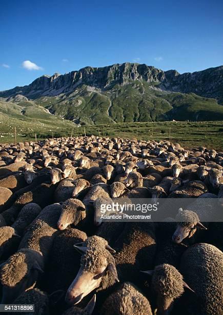 sheep at parco naturale regionale del matese - molise foto e immagini stock