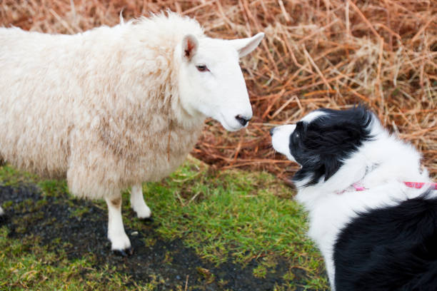 A sheep at Portnalong, Isle of Skye, Scotland, UK, being closely watched by a pet border Collie.