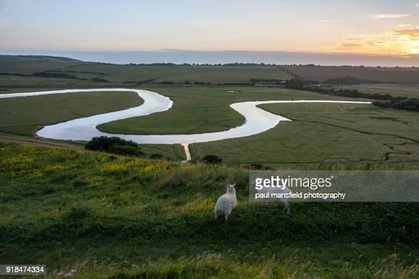 Sheep at river cuckmere