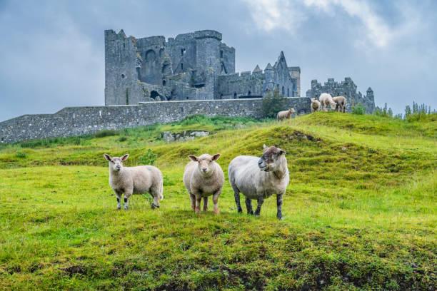pecore al rock of cashel ireland - ireland foto e immagini stock